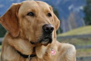 hond golden retriever goldenretriever marum-grootegast
