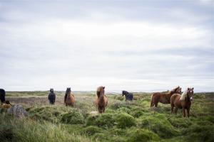 paarden paardenkudde hengsten merries hengst merrie