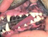 tandsteen aandoening ziek hond honden dierenarts tanden gebit
