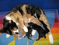Poes kittens jongen litter kleintjes drachtig werpen